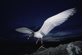 Tui De Roy - Swallow-tailed Gull departs at dusk to feed far offshore, Galapagos Islands