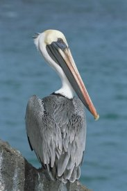 Tui De Roy - Brown Pelican adult in resplendent breeding colors, Galapagos Islands