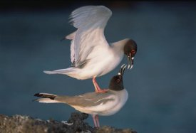 Tui De Roy - Swallow-tailed Gull pair mating at dusk, Galapagos Islands, Ecuador