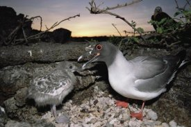 Tui De Roy - Swallow-tailed Gull guarding chick in pebble nest, Galapagos Islands, Ecuador