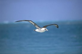 Tui De Roy - Laysan Albatross flying to breeding colony, Midway Atoll, Hawaii