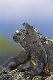 Tui De Roy - Marine Iguana hatchling basking on back of adult, Galapagos Islands