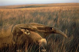 Tui De Roy - Giant Anteater carrying her young and feeding in dry Cerrado grassland, Brazil