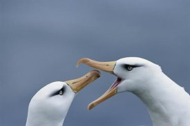 Tui De Roy - Campbell Albatross courtship,  Campbell Island, New Zealand