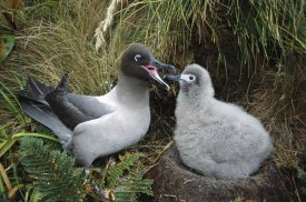 Tui De Roy - Light-mantled Albatross feeding chick, Campbell Island, New Zealand