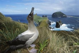 Tui De Roy - Light-mantled Albatross sky-pointing, Campbell Island, New Zealand