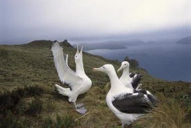 Tui De Roy - Southern Royal Albatross gamming group courting, Campbell Island, New Zealand