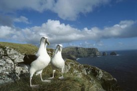 Tui De Roy - White-capped Albatross pair, Southwest Cape, Auckland Island, New Zealand