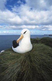 Tui De Roy - Campbell Albatross , Bull Rock, North Cape Colony, Campbell Island, New Zealand