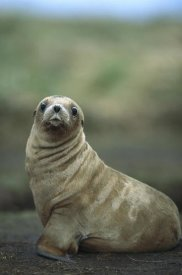 Tui De Roy - Hooker's Sea Lion pup, Enderby Island, Auckland Islands, New Zealand