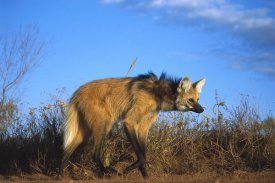 Tui De Roy - Maned Wolf in tall grass, Serra de Canastra National Park, Brazil
