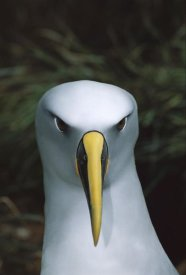 Tui De Roy - Buller's Albatross, Snares Islands, New Zealand