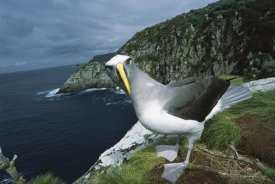 Tui De Roy - Buller's Albatross investigating potential nest site Snares Islands, New Zealand