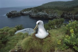 Tui De Roy - Buller's Albatross nesting among coastal plants, Snares Islands, New Zealand