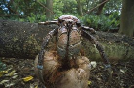 Tui De Roy - Coconut Crab eating, Palmyra Atoll NWR, US Line Islands