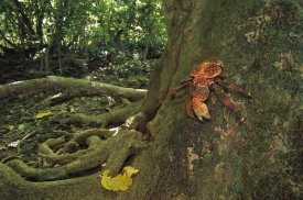 Tui De Roy - Coconut Crab scaling a Grand Devil's-claws tree