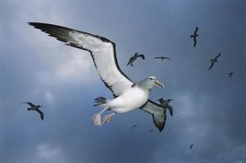Tui De Roy - Salvin's Albatross returning colony, Bounty Islands, New Zealand