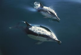 Tui De Roy - Common Dolphin pair jumping, Golden Bay, New Zealand