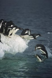 Tui De Roy - Adelie Penguin group leaping off ice edge in fog, Ross Sea, Antarctica
