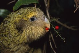 Tui De Roy - Kakapo feeding on Supplejack berries, Codfish Island,  New Zealand