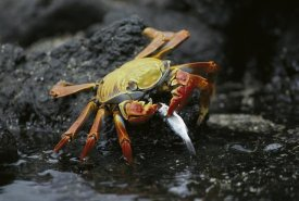 Tui De Roy - Sally Lightfoot Crab feeing on young mullet, Galapagos Islands, Ecuador