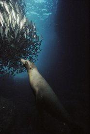 Tui De Roy - Galapagos Sea Lion pup fishing amid school of striped snapper, Galapagos Islands