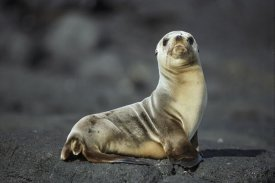Tui De Roy - Galapagos Sea Lion pup, Galapagos Islands, Ecuador