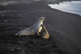 Tui De Roy - Galapagos Sea Lion mother and pup with dry golden fur, Galapagos Islands