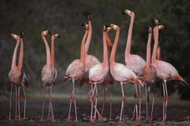 Tui De Roy - Greater Flamingo synchronized group courtship dance, Galapagos Islands