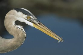 Tui De Roy - Great Blue Heron with juvenlile mullet, Galapagos Islands
