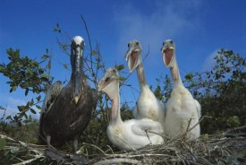 Tui De Roy - Brown Pelican chicks begging from parent, Galapagos Islands, Ecuador