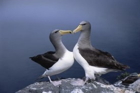 Tui De Roy - Chatham Albatross courting pair, The Pyramid, Chatham Islands