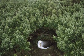 Tui De Roy - Yellow-nosed Albatross nesting under Island Cape Myrtle , Tristan da Cunha