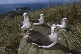 Tui De Roy - Yellow-nosed Albatross group, Tristan da Cunha, South Atlantic