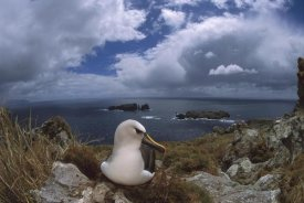Tui De Roy - Yellow-nosed Albatross nesting, Tristan da Cunha, South Atlantic