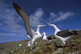 Tui De Roy - Southern Royal Albatross gamming group, Campbell Island, New Zealand