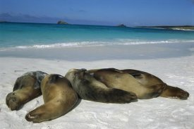 Tui De Roy - Galapagos Sea Lion group sleeping on beach, Galapagos Islands, Ecuador