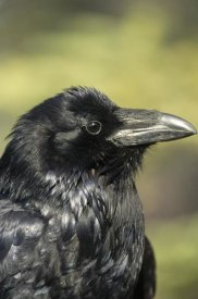 Michael Quinton - Common Raven portrait in the summer, Alaska