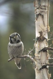 Michael Quinton - Northern Hawk Owl perching in tree in the spring, Alaska