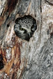 Michael Quinton - Boreal Owl in tree cavity in the winter, Alaska