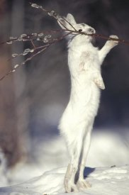 Michael Quinton - Snowshoe Hare feeding on Pussy Willow in the winter, Alaska