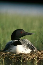 Michael Quinton - Common Loon on nest with one-day-old chick, summer, Wyoming