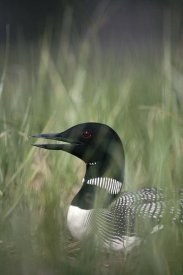 Michael Quinton - Common Loon incubating eggs on nest panting to cool down, Wyoming