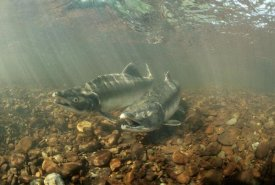 Michael Quinton - Pink Salmon pair underwater during summer spawning, Alaska