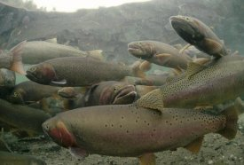 Michael Quinton - Cutthroat Trout group in the spring, Henry's Lake, Idaho
