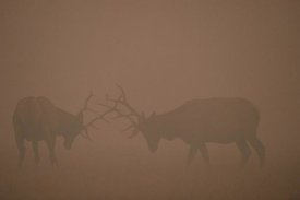 Michael Quinton - Elk pair of bulls fighting in smoke from fire, Yellowstone NP, Wyoming