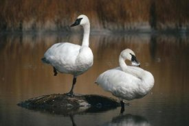 Michael Quinton - Trumpeter Swan pair, Yellowstone National Park, Wyoming