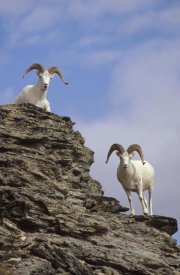 Michael Quinton - Dall's Sheep pair on rock outcrop, North America