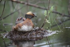 Michael Quinton - Horned Grebe on nest with three chicks on its back, Alaska