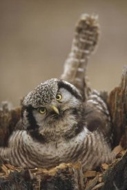 Michael Quinton - Northern Hawk Owl incubating eggs on nest built in top of snag, Alaska